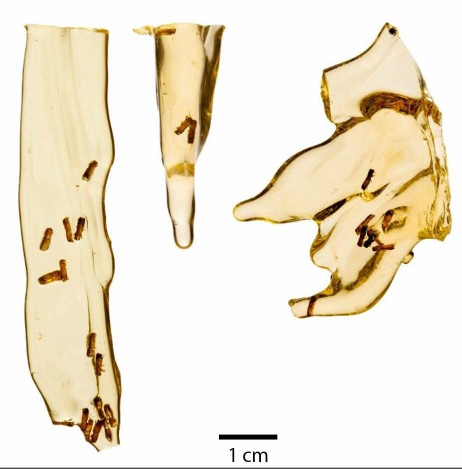 resine coleoptere ambroisie incrustes