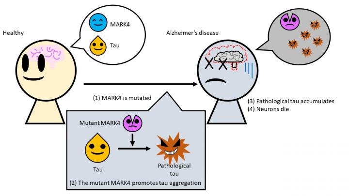 schema enzyme mark4 defectueuse accumulation tau