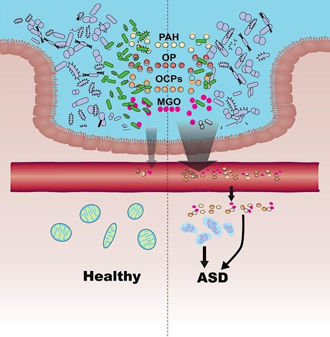 schema permeabilite intestinale detoxification microbienne cause autisme