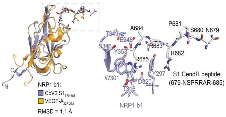 structure complexe protéique liaison neuropiline Spike