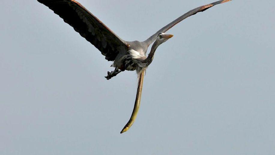 anguille serpent sort estomac heron plein vol