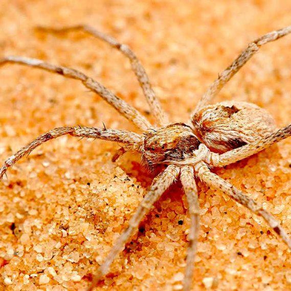 araignees thanatus fabricii males attachent femelles avant accouplement
