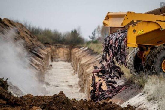 centaines visons abattus ressortent terre danemark