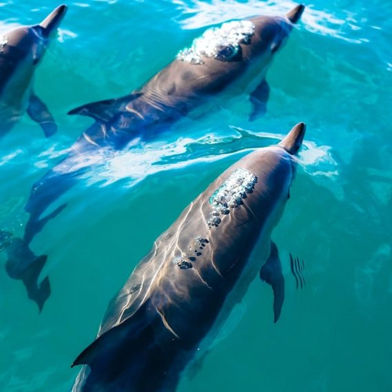 dauphins controlent rythme cardiaque eviter problemes decompression
