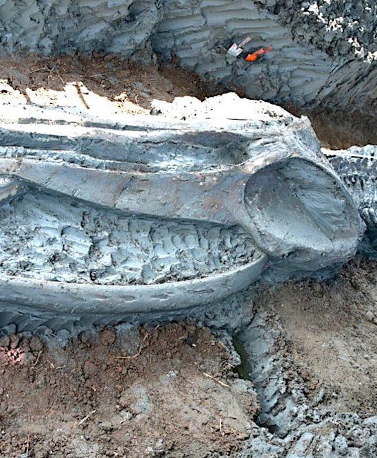 decouverte ancien squelette baleine renfermant indices changement climatique
