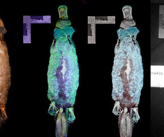 fluorescence UV ornithorynque