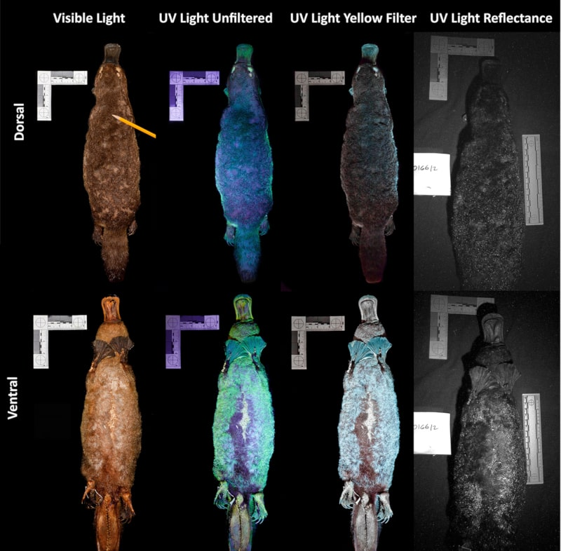 fluorescence UV ornithorynques
