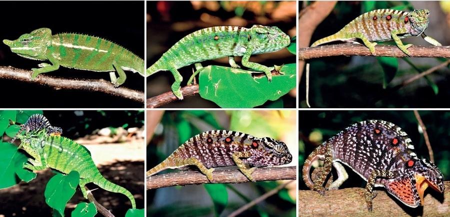mâles femelles couleurs caméléons