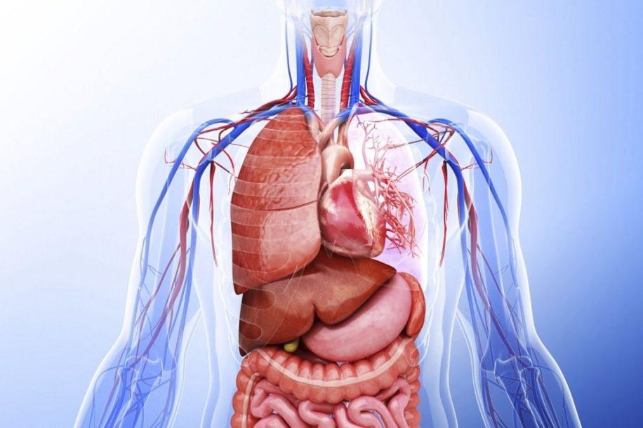 combien organes dans corps humain couv