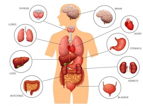 principaux organes corps humain