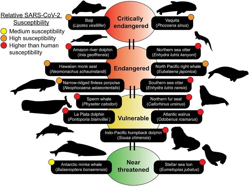seuil vulnérabilité mammifères marins coronavirus sars-cov-2