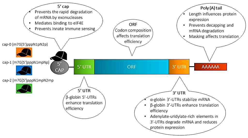 structure arnm utilises preparations vaccinales