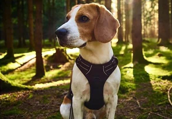 chien detecteur punaises lit snoopy