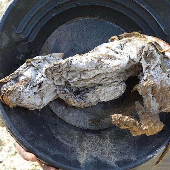 decouverte louveteau incroyablement bien preserve pergelisol yukon canada