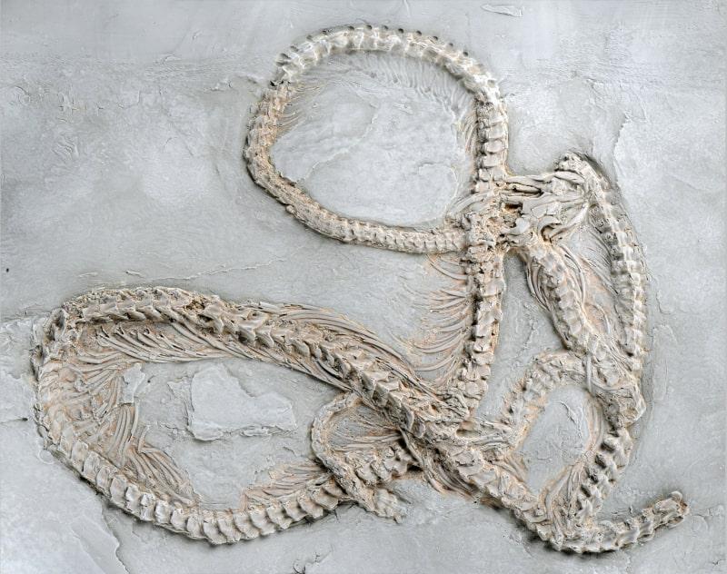 fossile nouvelle espèce python