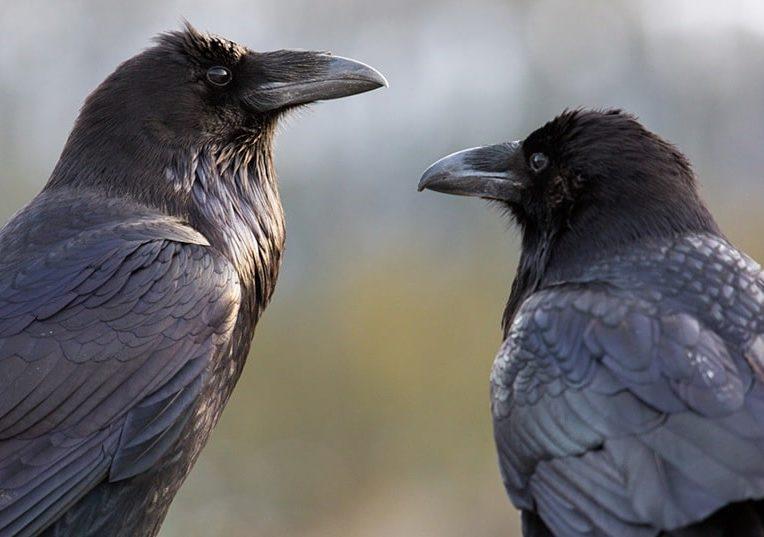 jeunes corbeaux capacites cognitives rivalisant avec grands singes adultes