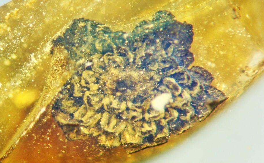 nouvelle espece fleur piegee ambre 100 millions annees
