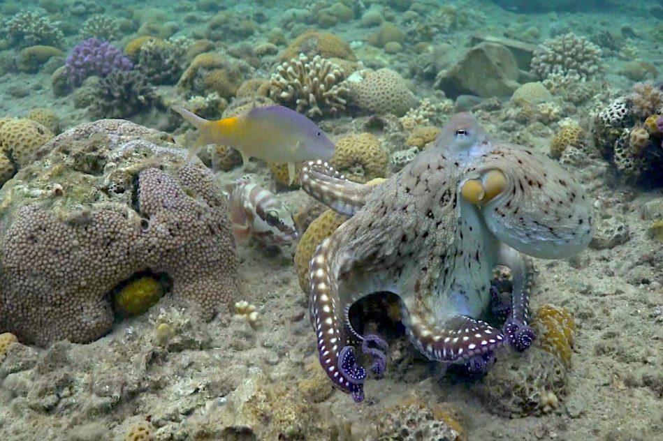 pieuvres observees frappant poissons controle domination mechancete