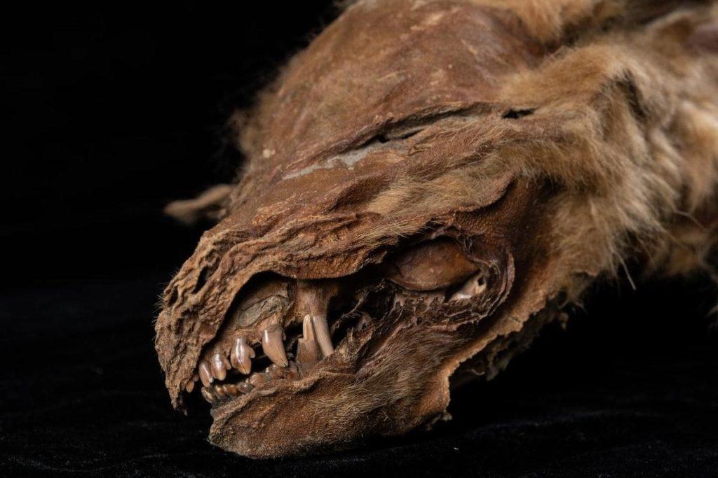 plan dents louveteau 57000 ans canada