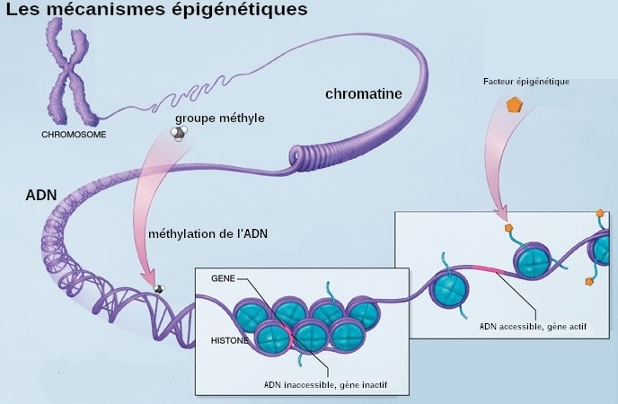 schema mecanisme epigenetique methylation adn