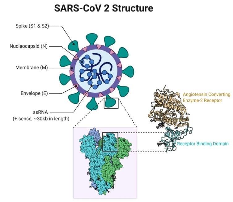 structure coronavirus proteine spike