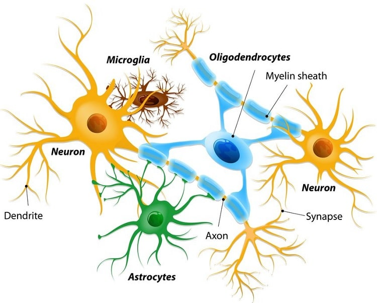 astrocytes cellules neurones