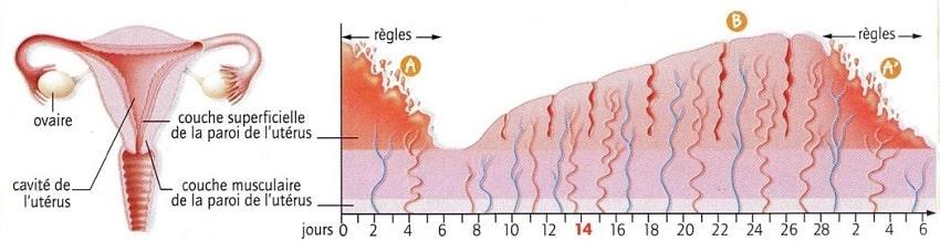 evolution muqueuse uterus regles