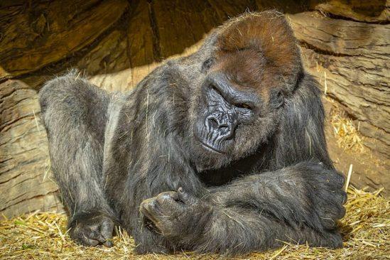 gorilles zoo san diego testes positifs coronavirus