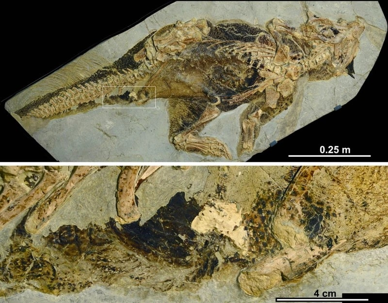image psittacosaurus event cloacal
