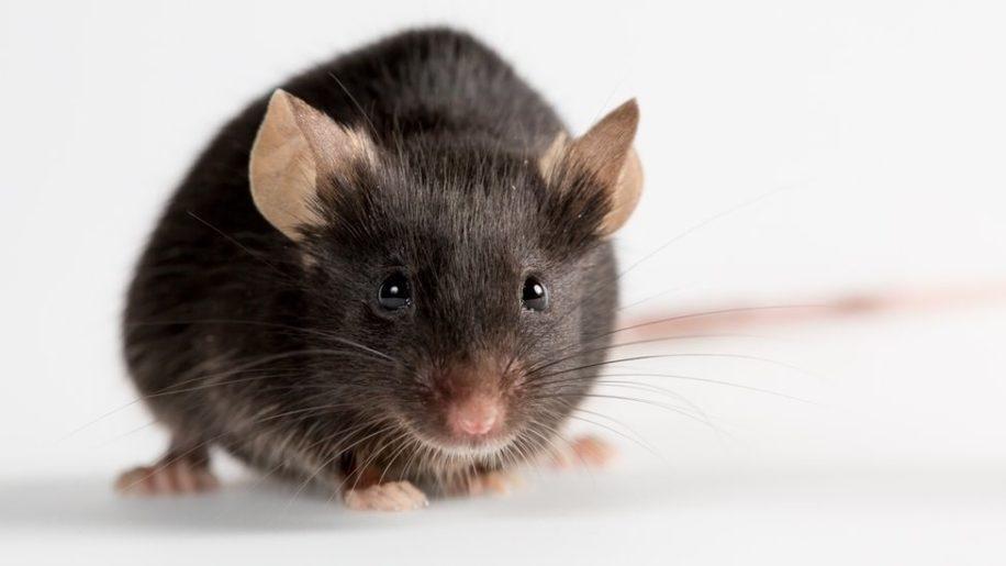 proteine ameliore capacites physiques souris