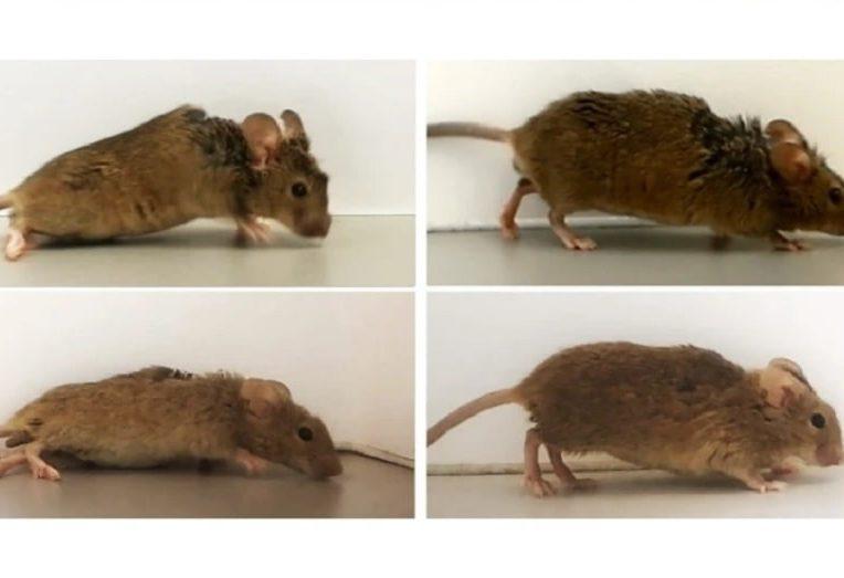 proteine synthetique permet souris paralysees marcher nouveau