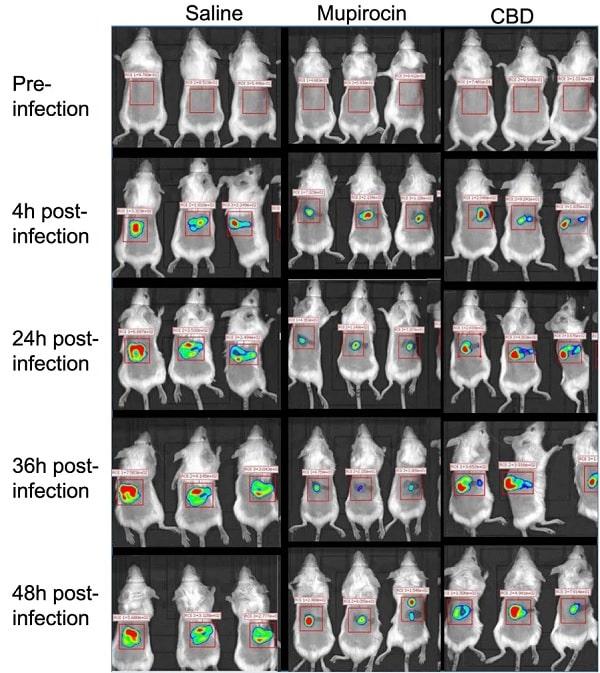 resultats souris infection traitement cbd