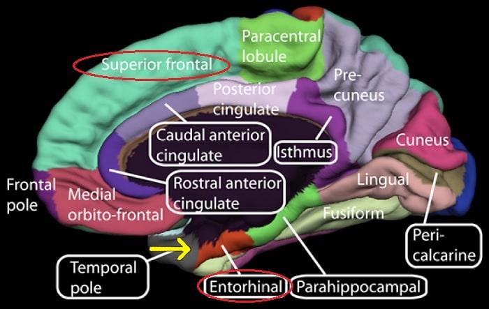 schema cerveau cortex entorhinal gyrus frontal