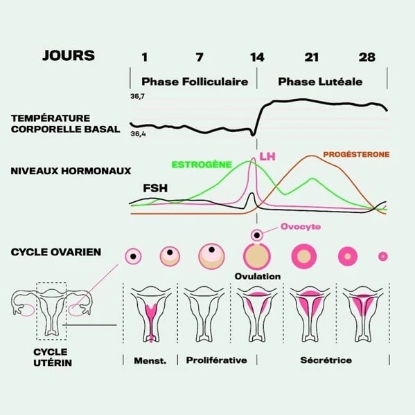schema cycle menstruel hormones
