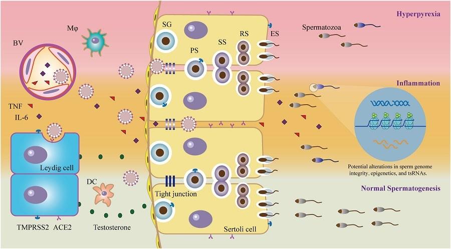 schema impact infection coronavirus systeme reproducteur