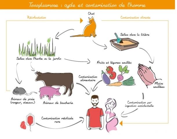 schema voies contamination toxoplasmose