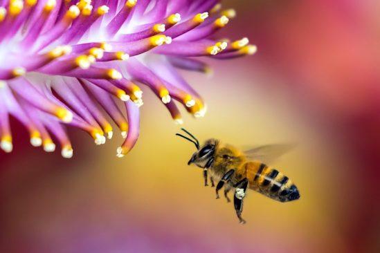 un quart especes abeilles connues disparu en 30 ans