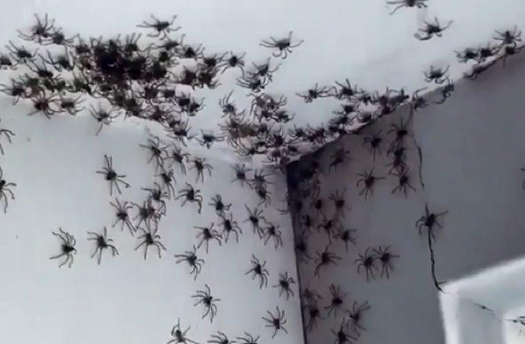 australie-conditions-meteo-declenchent-infestations-araignees