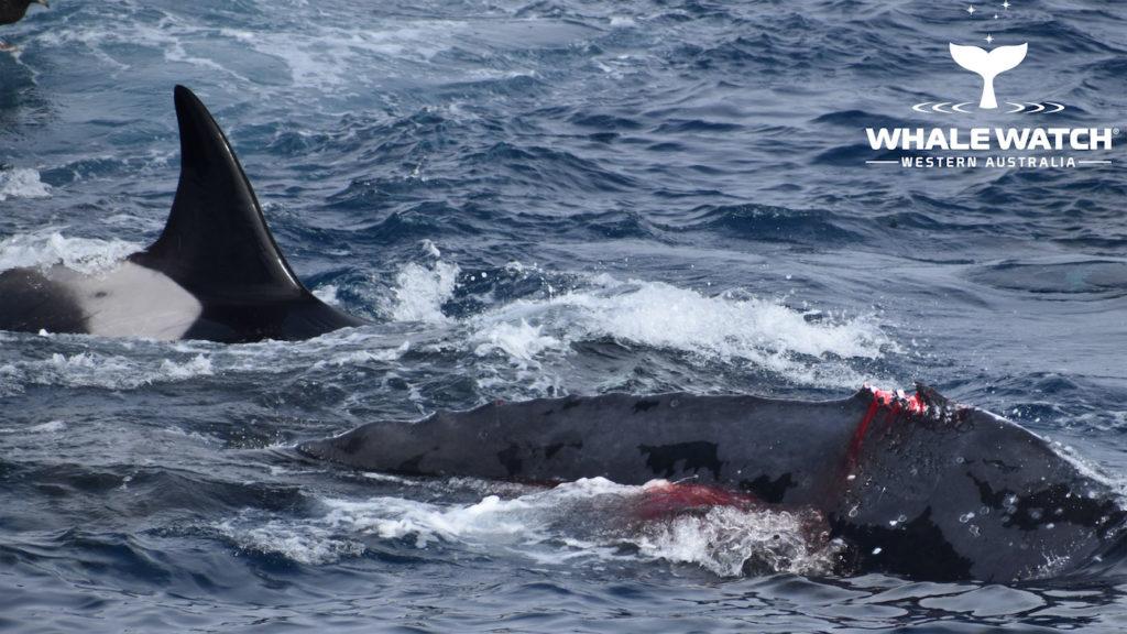 baleine bosse combat orques nageoire dorsale