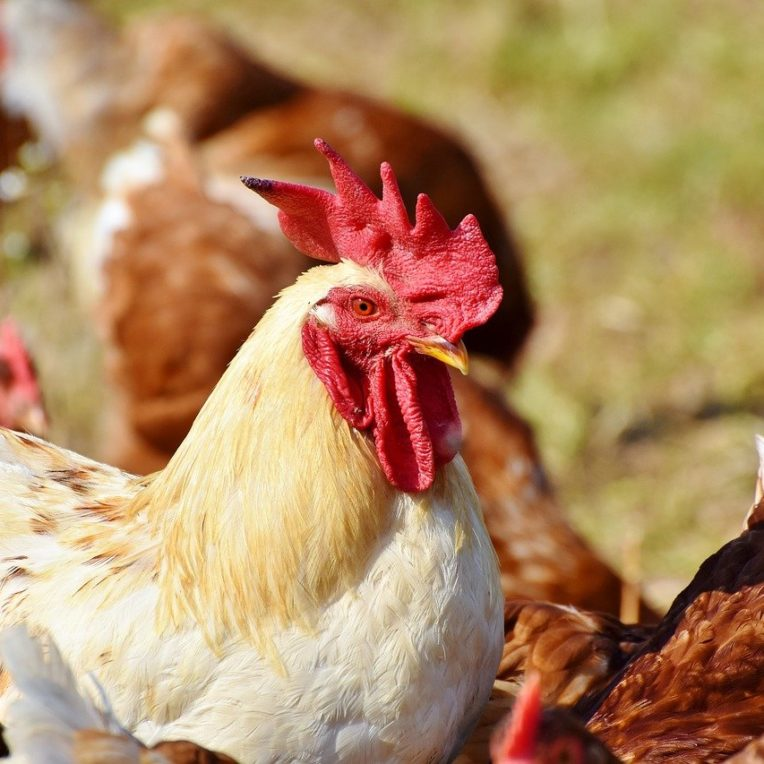 cas grippe aviaire homme