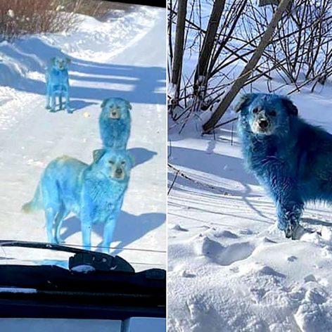chiens pelage bleu decouverts pres usine chimique abandonnee