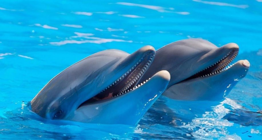 dauphins possedent traits personnalite similaires humains