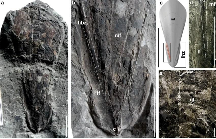 images fossile calmar vampire