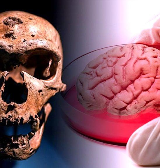 mini cerveaux neandertaliens crees laboratoire avec crispr