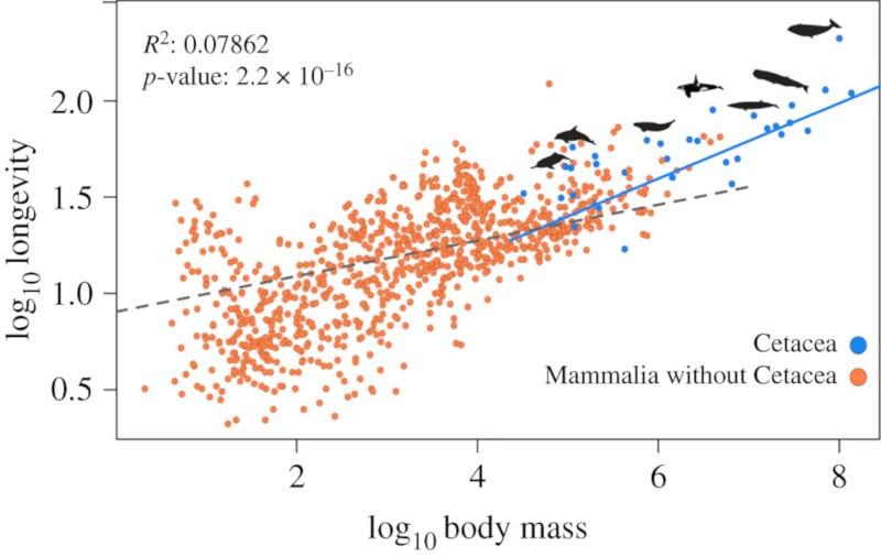 relation masse longévité mammifères