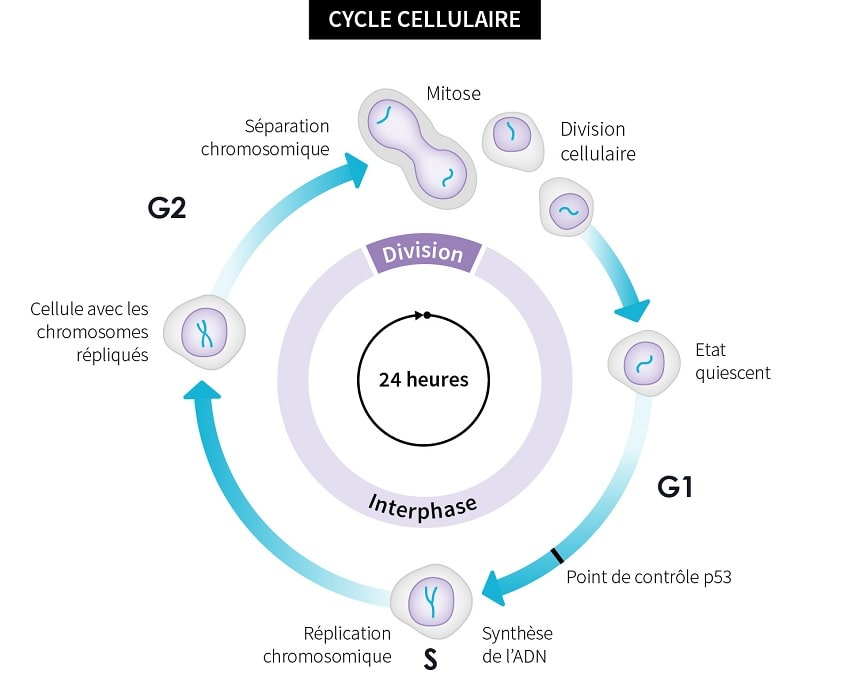 schema cycle cellulaire