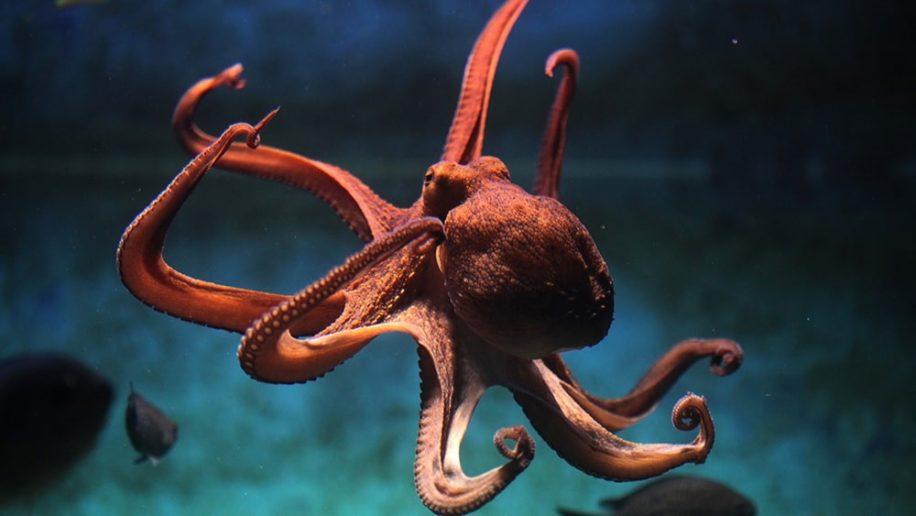 cephalopodes pourraient etre apparus 30 millions annees plus tot
