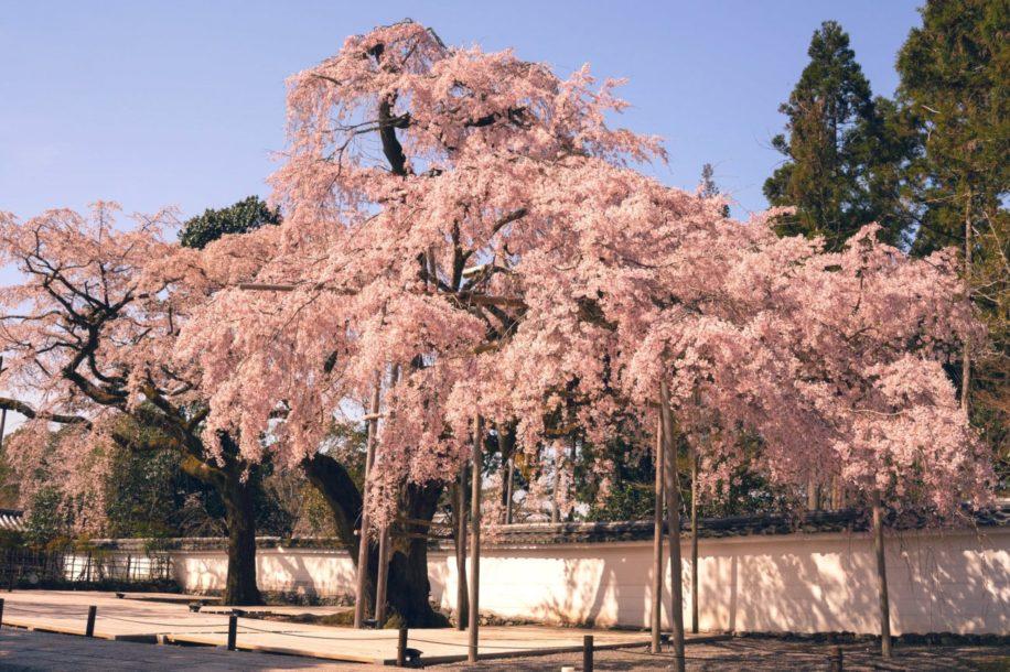 floraison précoce cerisiers japonais