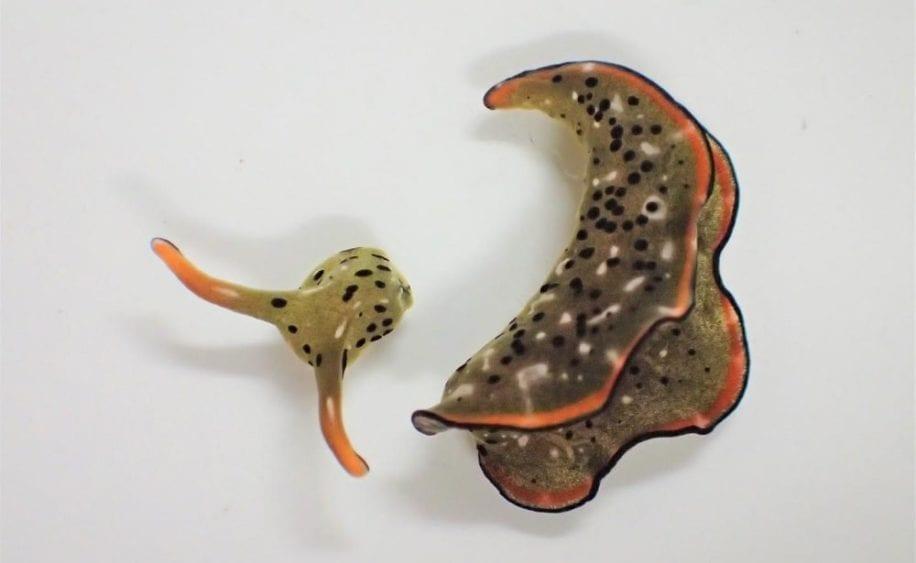 limaces mer peuvent regenerer corps complet partir tete