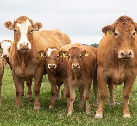 nourrir bovins elevage avec algues reduit emissions methane 82 pourcent